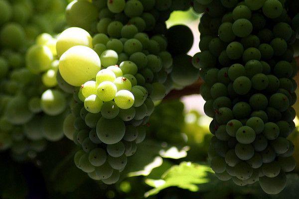 Słodkie wino z wyspy Samos